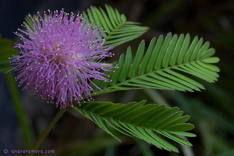 Mimosa sensitiva