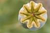 """<em><span style=""""color:#FBEC5D"""">Papaver somniferum</span> </em>  Adormidera (familia Papaveraceae) Cápsula de amapola real con un disco estigmático de 9 radios en cuyo interior se encuentarn las semillas. Las propiedades de esta planta se conocen desde antiguo, por lo que se ha cultivado ampliamente. Mediante incisiones en la cápsula inmadura se obtiene un látex blanquecino, que una vez desecado constituye el opio. Éste contiene algunos alcaloides entre los que destaca la morfina, que actúa como depresor del sistema nervioso central y es un analgésico por excelencia; también contiene codeína, que inhibe el centro nervioso de la tos y se puede usar como antitusígeno.  En la foto anterior se muestra la flor."""