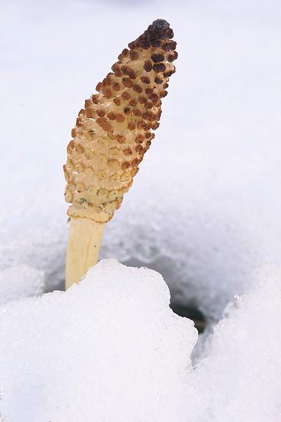 Equiseto en la nieve