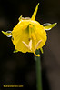 Narcissus hedraeanthus.
