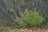 Daphne gnidium en PN de Alcornocales