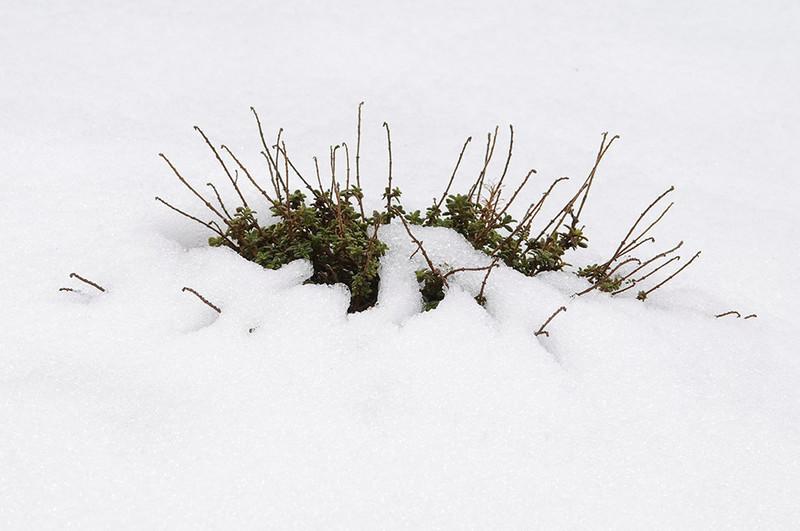 Tomillo en la nieve