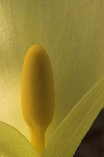 <em>Arum italicum</span></em>
