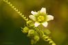 Nueza ( <em>Brionia dioica</span></em>)