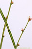 Detalle de <em>Chamaespartium tridentatum</span></em>