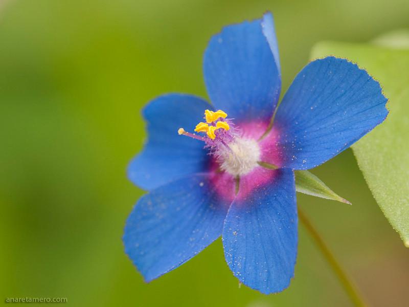 <em>Anagallis arvensis</span></em> (pimpinela escarlata)