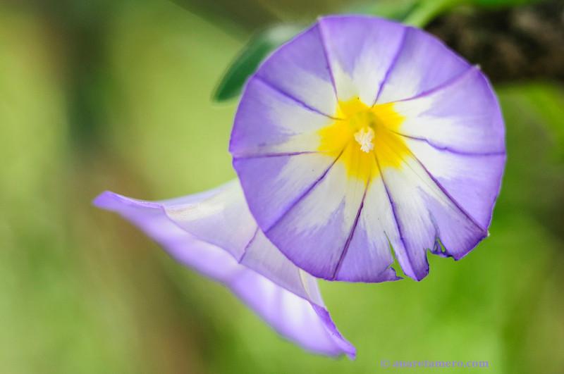 <em>Convolvulus tricolor</span></em>