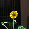 2010-05-28 Sunflower standard focus