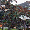2013-07-22 Seaside CA Magnolia tree