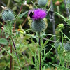 2013-07-19 thistle with large bee 1