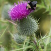 2013-07-19 thistle with large bee 2