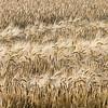 Ripe barley