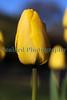 Saumarez Park tulip 260410 ©RLLord 1877 smg