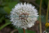 dandelion seeds 240409 ©RLLord 3202 smg