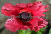 red poppy Sealord Garden 120610 ©RLLord 9917 smg