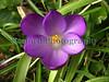 Crocus tommasinianus sealord garden 110305 ©RLLord 820 smg