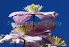 clematis blue sky garden 220411 ©RLLord 6474 smg