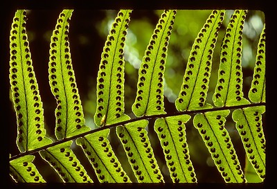 """Polypodium Fern, Fakahatchee Strand Preserve State Park, about 1987:  This is the beauty of the Polypodium in strong, translucent light, captured in the still-wild tropical swamp that is Fakahatchee Strand, Florida.    This is where the few remaining critically endangered Florida Panthers hang on by a thread....but without concern for gun or automobile here.  By accepted habitat definition, this is a tropical hammock, a very rare habitat in North America.    With about 6"""" of water on the floor, it is 100% humid under the continuous, nearly unbroken hammock canopy.   But as you can see, holes in the canopy, allow pools of direct sunlight to flood the inundated floor.  This image was recorded on Kodachrome 25, the finest-grained transparency film in the world and scanned at 4000 dots per inch, for a final digital image that is somewhere around 25 megapixels.  Shot through a 105mm f2.8 micro Nikkor, on a tripod with mirror locked up, probably at f11 for about 1/4 second.    THE BONUS OF SHOOTING UNDER A DENSE HAMMOCK CANOPY: Here in the deep swamp, under the dense hammock canopy from Spring through Summer there is not the slightest breeze and so the vegetation is literally motionless, making long exposures easy once I get through the tedium of setting up the tripod."""