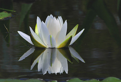 "This White Water Lily was recorded over the side of my canoe September 4, 2011 at Moose Pond, Denmark, Maine with a handheld 300mm f2.8 Nikkor with VRII ""on"".  I guess when I get around to it I have to see about making the image a little brighter."