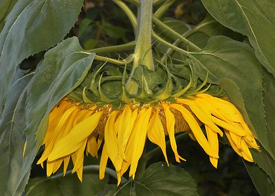 Mammoth Russian Sunflower (Helianthus annuus)