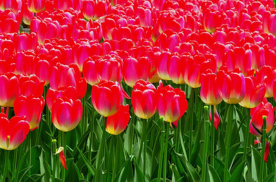 The tulips of Fessenden Park, maintained by the City of Portland, Maine