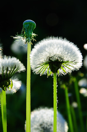 I guess Dandilions are not all that bad....certainly not if you photograph nature.  These became established in my garden area and I decided to keep my eye on them.  Sure enough, one morning I noticed this shot just before getting in my truck.  I could not let this moment slip away.  I always keep my camera ready to go and quickly accessible.....just for such situations:   So I rushed back inside my house and quickly grabbed it from where it was waiting......just inside the door, on the kitchen counter with a fully charged battery.  These Dandilions were in a narrow pocket of direct, early morning light.  All else around them was in shade.  Forty years of shooting told me that I had no more than 1 to 2, maybe 3 minutes to complete the shooting.  If you want a real perception of the speed of the Sun's apparent motion (actually the Earth's motion around the Sun) you must take up available-light macro photography or photograph sunsets and sunrises.      I was able to take about a half dozen frames to my liking.   At first glance of the results I saw nothing that seemed extraordinary.  Months later, as I went through them again, I was overwhelmed with the desire to crop out this piece of a frame.