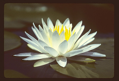This White Water Lily image was taken way back in film days, probably when I was in the Everglades, and then I scanned the slide at 4000 dpi.