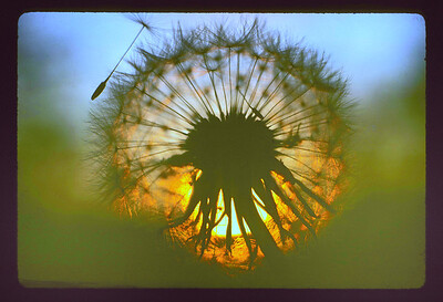 Dandelion (Taraxacum) seed head.  This is one of my earliest nature images.  I believe I shot it in 1974.  It was taken right at sunset and right into the setting sun.  It was recorded on Kodachrome 64 with my first camera, a Minolta SRT 101 with a 135mm f2.8 Rokkor lens mounted on auto extension tubes or more likely with close-up, screw-in accessory lens.  This image placed in the National Wildlife Federation's yearly photo contest and subsequently toured the United States in a year-long photo exhibition sponsored by the Leigh, Yawkey Woodson Art Museum of Wausau, Wisconsin.