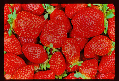 "It was back in the mid-1980's:  And on this day an elderly friend approached me in the town we both lived in at the time, and  gave me several containers of strawberries she had freshly picked.  ""Wow!""is the word that describes the feeling I had upon first glance of these beauties.   I thanked Gladys, talked with her for a bit and then hurried home.    Placing the containers on the picnic table, I grabbed what is perhaps the sharpest lens I have owned, my 55mm 2.8 micro Nikkor.   The ambient light was perfect as I began shooting....light to moderate overcast.  Digital was still years away, but for macro work I shot the finest grained color film in the  world....Kodachrome 25 exclusively.  And although film was very expensive, I knew I would not see this again.  So I shot until I was sure I had numerous, perfectly exposed records of these luscious fruits.   The more I shot, the more convinced I became that these were the best strawberries I've seen.  And they still are.   You'll not see an image of a mess of strawberries that compares to these beauties.......anywhere."