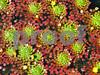 IMG_7577 Mosaic Plant