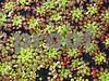 IMG_6826 Mosaic Plant