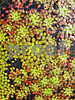 IMG_6830 Mosaic Plant V2 TC