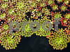 IMG_6825  Mosaic Plant