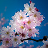 Spring Cherry Tree Bloom