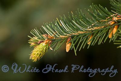 Close up of new pine cones