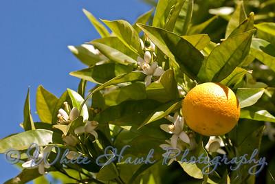 Orange Tree, Capistrano Beach, CA