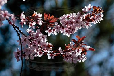 flowering plum on utah blue sky and pine