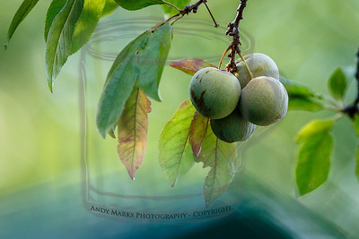 young purple plums
