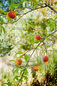 80% of the crop, gone to the birds.  (weirder still, peaches in June)