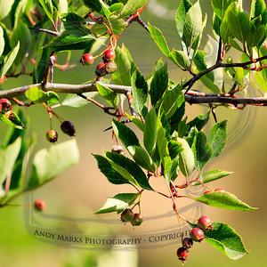 Wild Crab Apple, Hawthorne, not sure