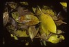 Autumn leaves in South Florida, Draft Dodgers Island, Everglades WCA 3AN, mid-1980s