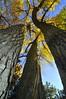 Cottonwood (Fremont's Cottonwood), (Populus fremontii),  outside Sante fe, New Mexico.