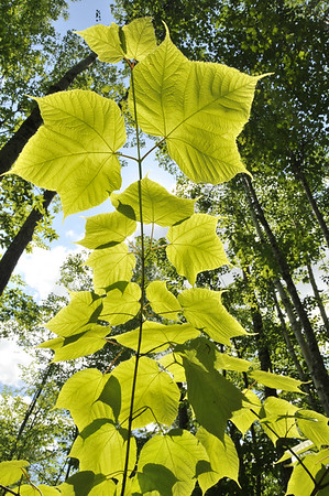 Striped Maple,  Moose Maple or Moosewood (Acer pensylvanicum), Baxter State Park, Maine, July 4th, 2008