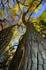 Cottonwood (Freemont's Cottonwood), (Populus fremontii),  outside Sante fe, New Mexico.