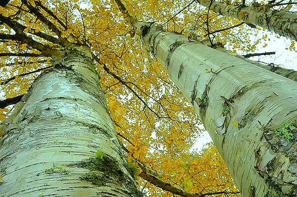 White or Paper Birch (Betula paperifer)