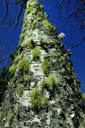 White Birch with Reindeer Moss and Lichen