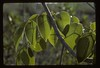 Poisonwood, Florida Poisontree or Hog Gum (Metopium toxiferum), on oolite rock, East Everglades, South Florida, mid 1980's