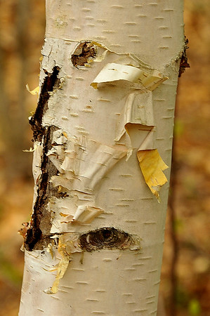 White or Paper Birch (Betula paperifer)