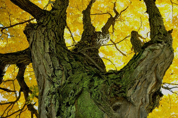 Veteran Sugar Maple (Acer saccharinum), Southern Maine, October 25, 2009