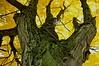 Veteran Sugar Maple (Acer saccharinum), Southern Maine, October 25, 2009